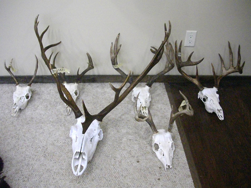 collection of deer skulls with antlers